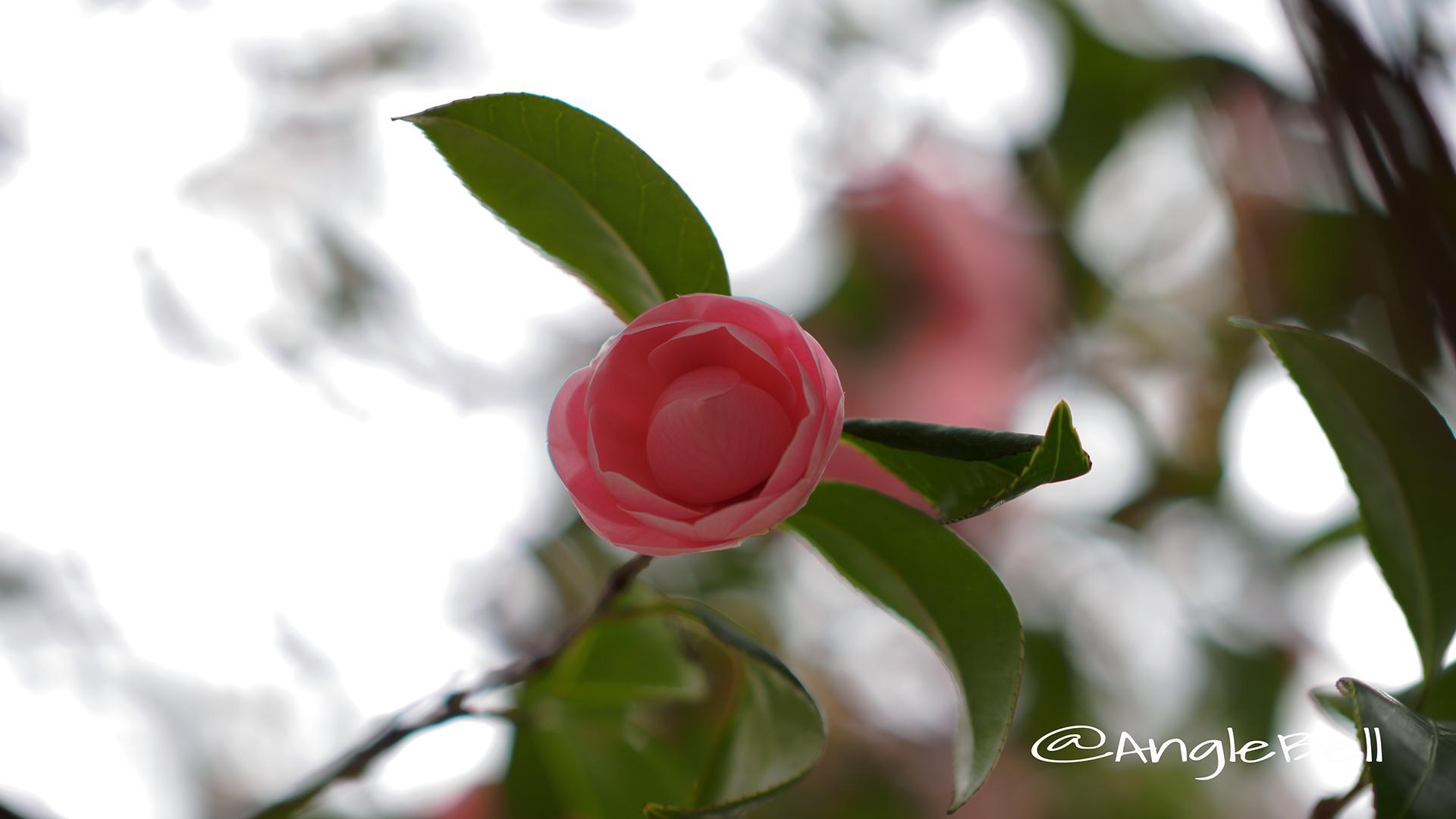 オトメツバキ 乙女椿 Flower Photo2