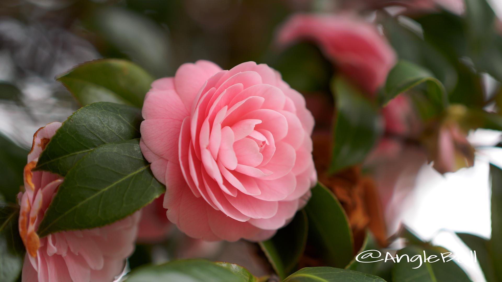 オトメツバキ 乙女椿 Flower Photo3