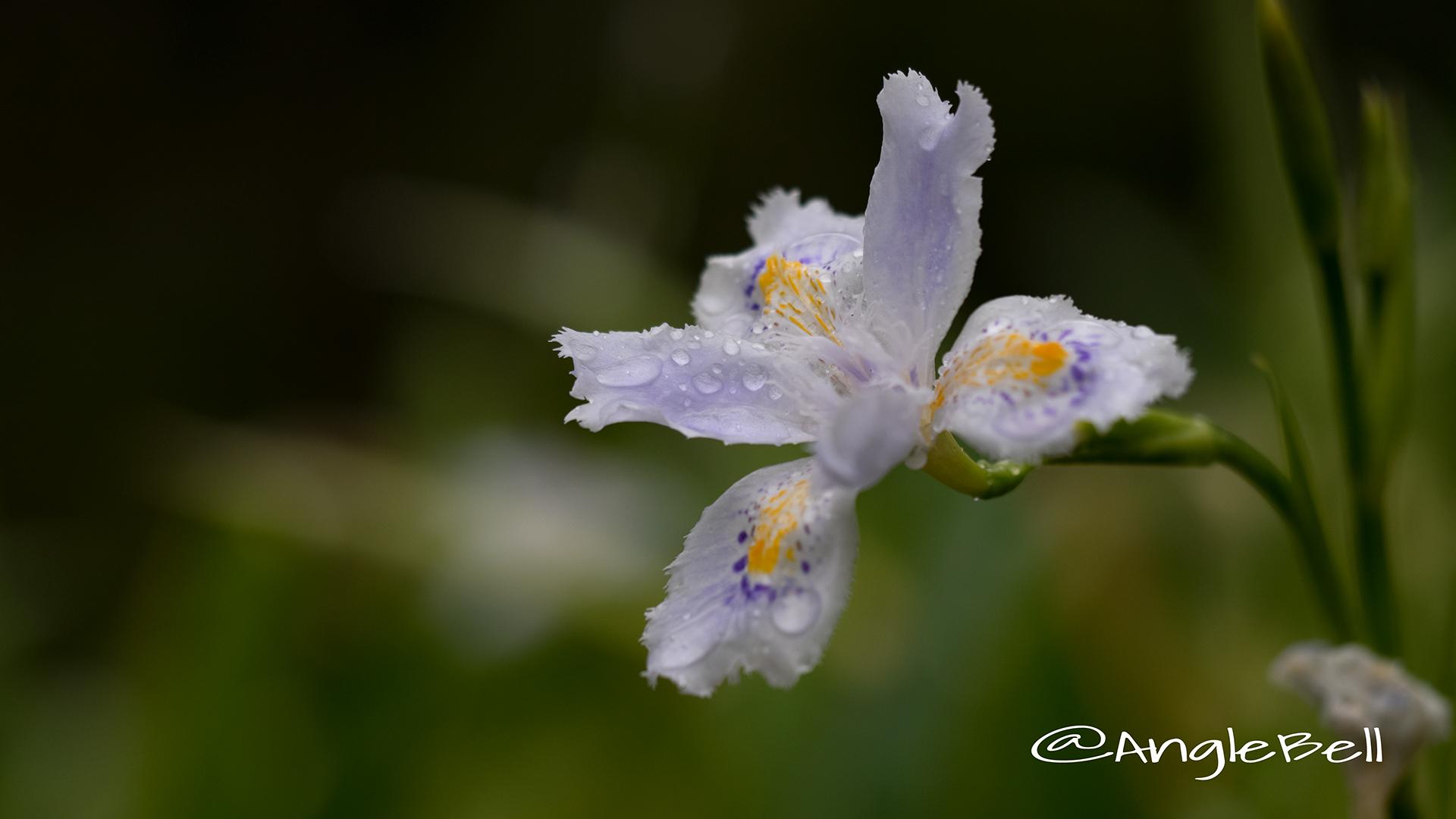 シャガ 著莪 Flower Photo2