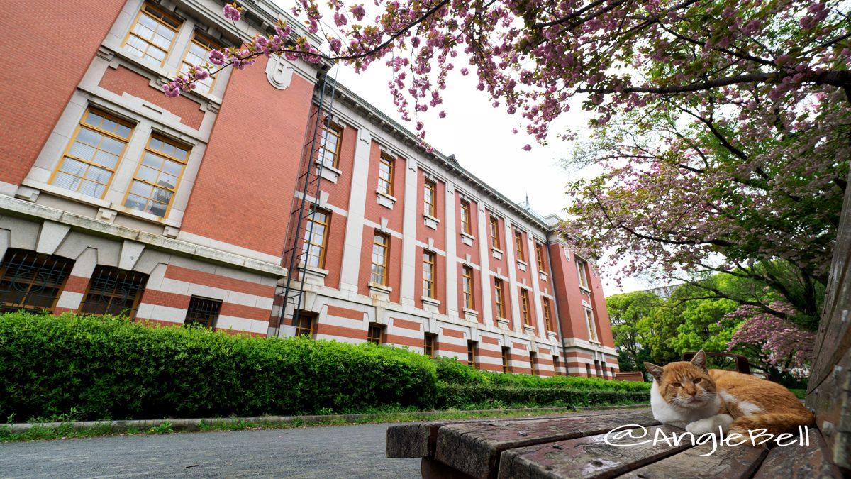 名古屋市市政資料館 東側の八重桜