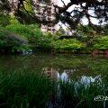 鶴舞公園 秋の池のツツジ(躑躅)