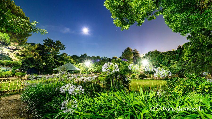 月夜 鶴舞公園 菖蒲池のアガパンサス