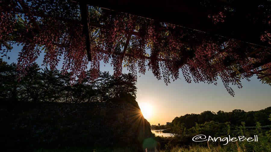 名古屋城 外堀 大津通沿いから見る藤の回廊と夕景