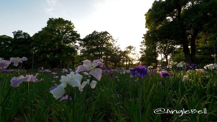 鶴舞公園 花菖蒲