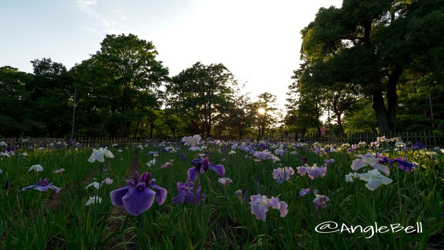 夕景 鶴舞公園 菖蒲池のハナショウブ