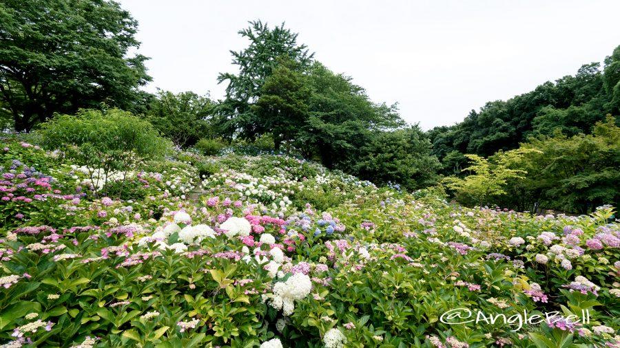 茶屋ヶ坂公園 散策の小径 紫陽花