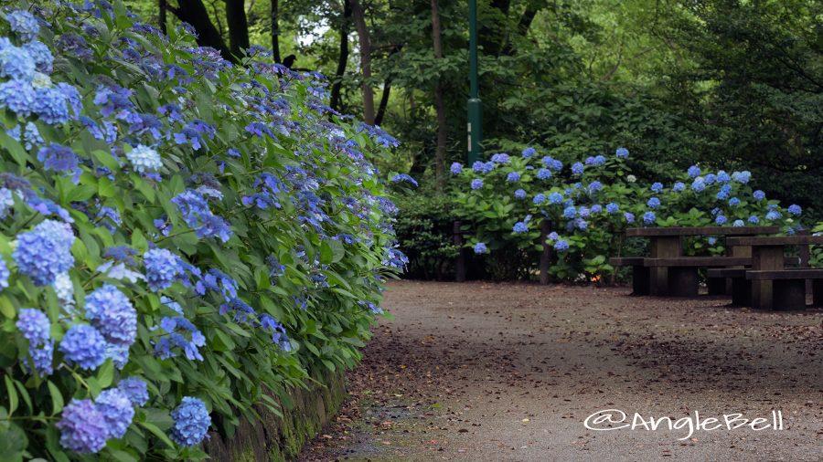 鶴舞公園 あじさいの散歩道