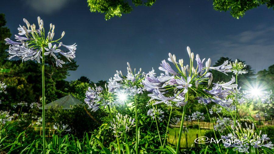 夜 鶴舞公園 菖蒲池のアガパンサス