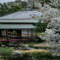 白鳥庭園 茶室 清羽亭と桜