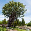 白鳥公園 オアシス広場 アコウの木