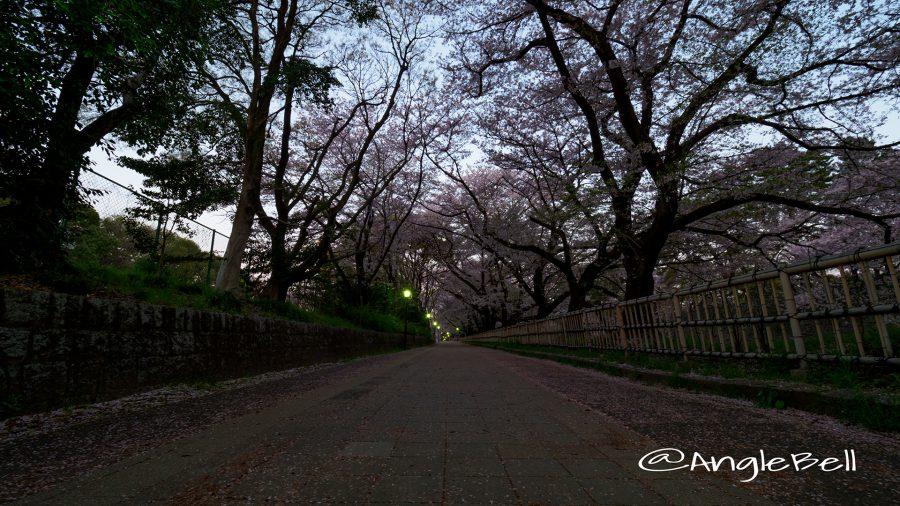 早朝 名古屋城 西之丸大手 外庭の遊歩道と桜