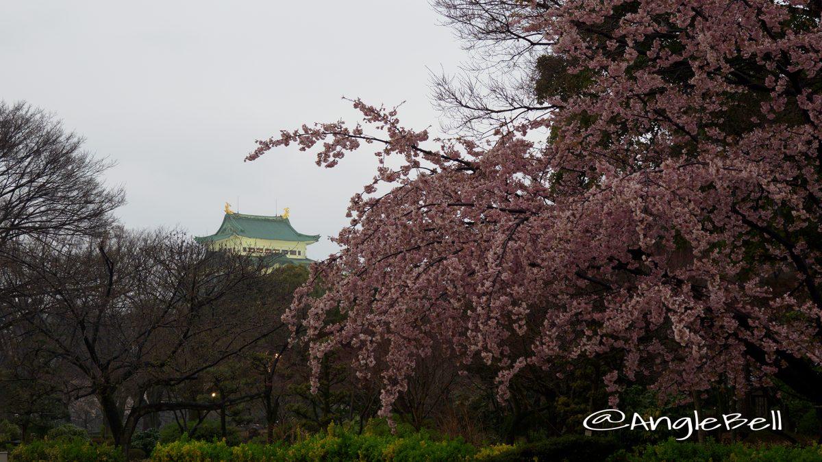 雨の日の大寒桜と名古屋城ライトアップ