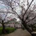 鶴舞公園 台座跡と桜