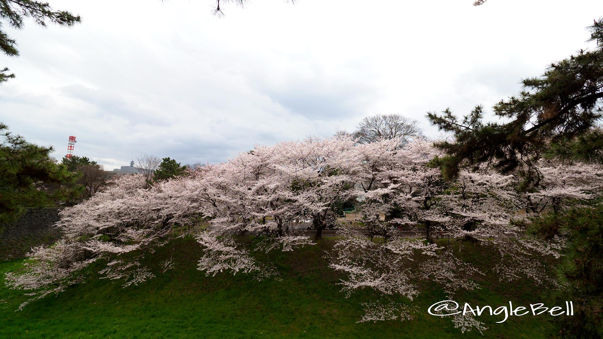 名古屋城 西之丸南から見る桜