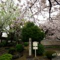 古渡城跡碑と桜