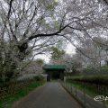 名古屋城 二之丸大手二之門 桜