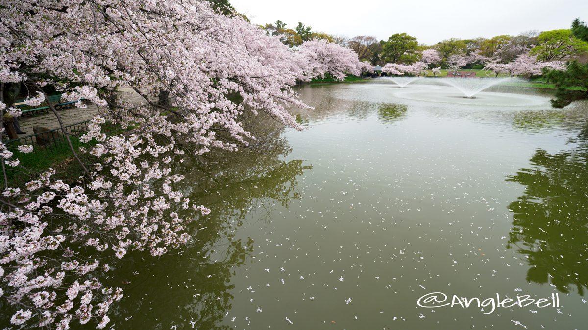 御深井西橋から見る御深井池(おふけ池) SAKURA
