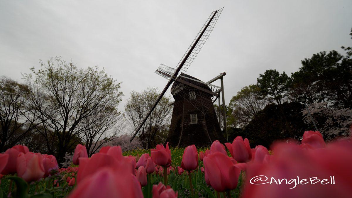 名城公園 チューリップと菜の花とオランダ風車
