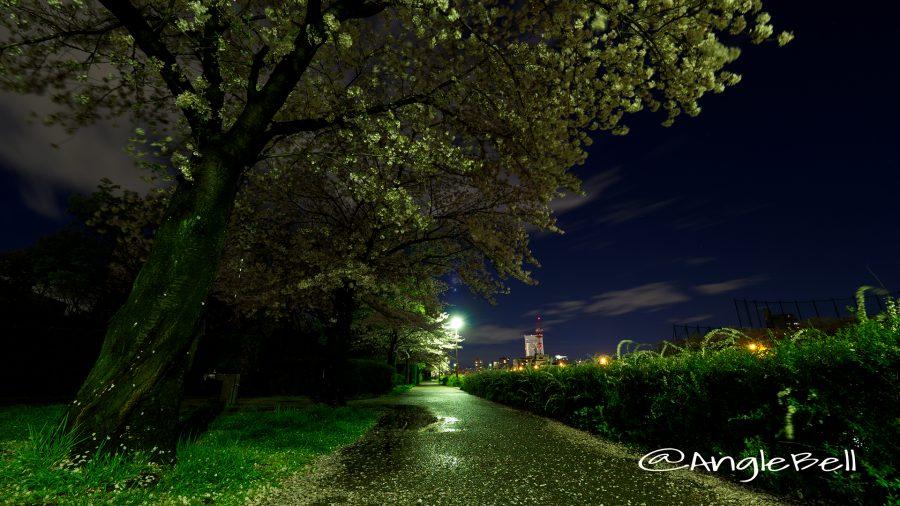 熱田区堀川沿い遊歩道と夜桜
