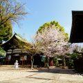 大須 三輪神社 淡墨桜の木と桜