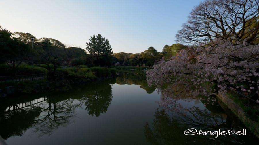 御深井池と桜