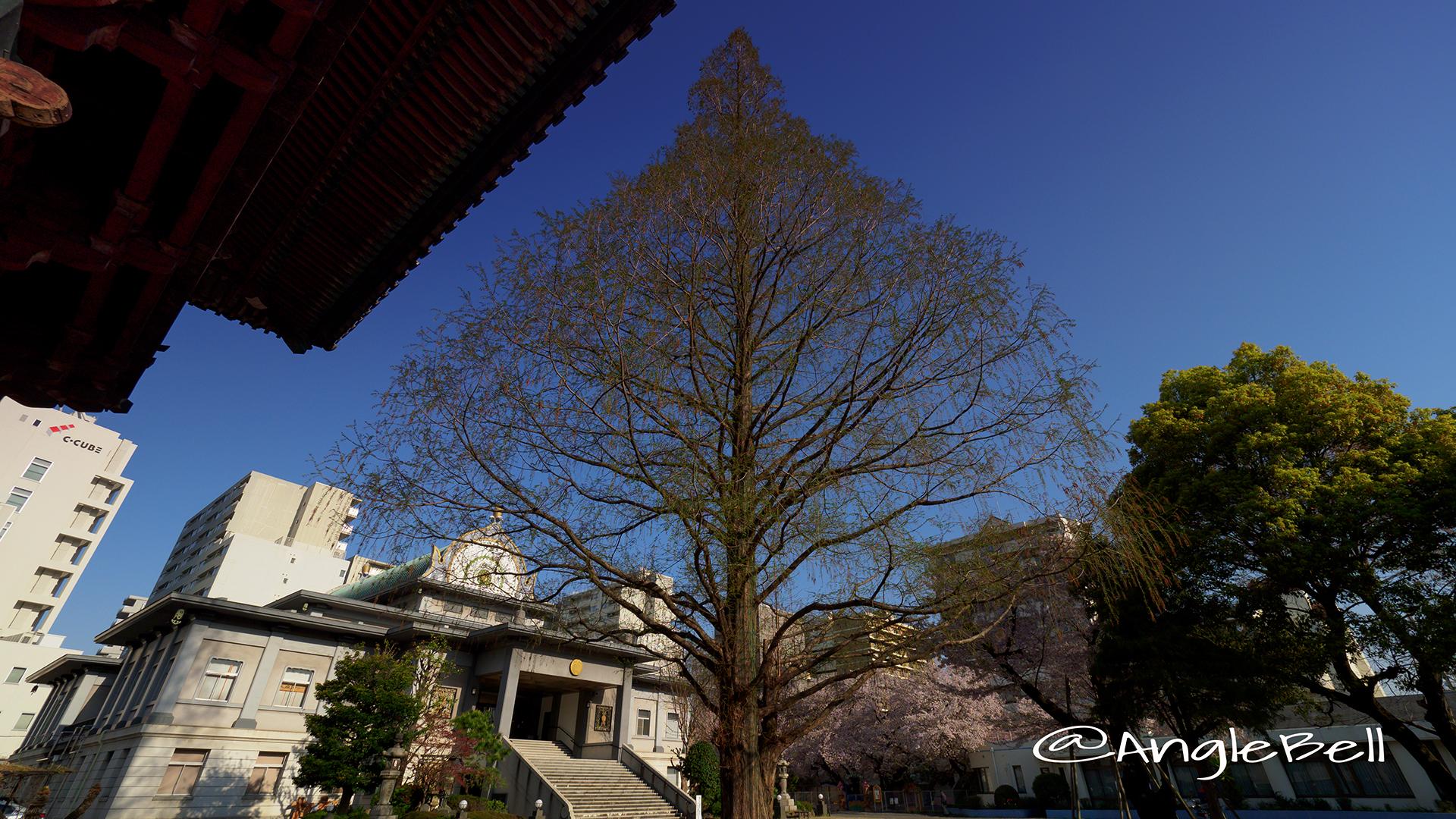 本願寺名古屋別院 メタセコイア大木