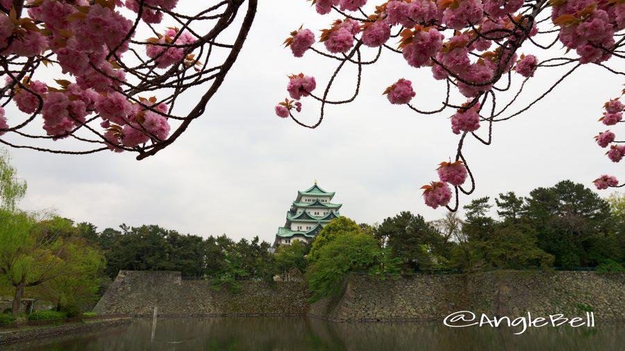 名古屋城外堀 お城と八重桜