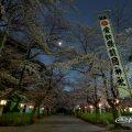 愛知縣護國神社 桜