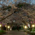 愛知縣護國神社 桜の木