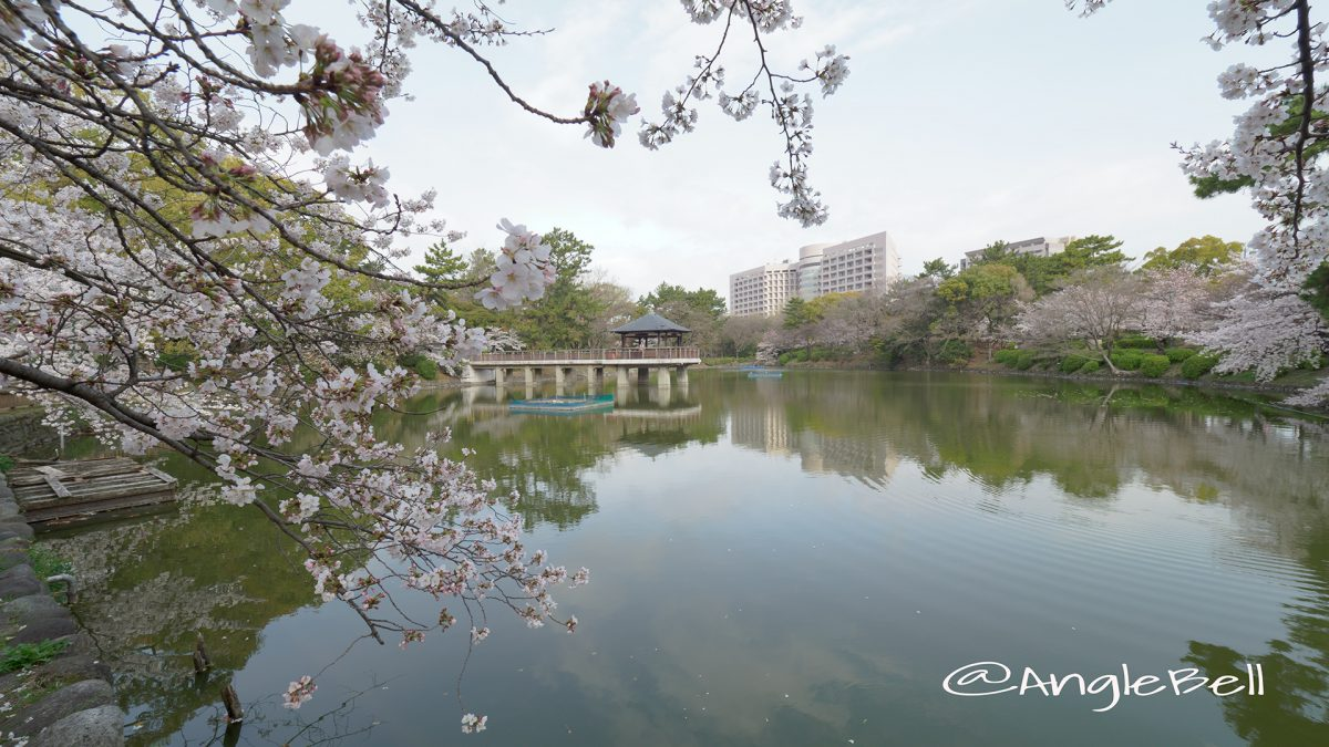 鶴舞公園東 竜ヶ池と桜風景