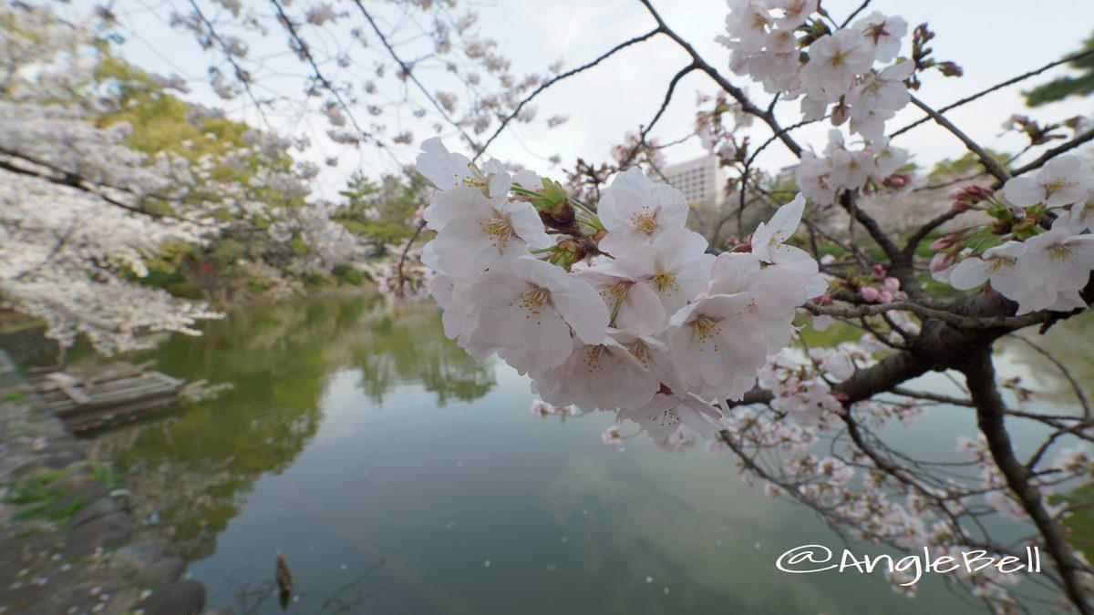 桜と鶴舞公園 竜ヶ池