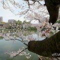 鶴舞公園 浮見堂と桜