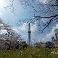 ロサンゼルス広場から見る桜通の桜と名古屋テレビ塔