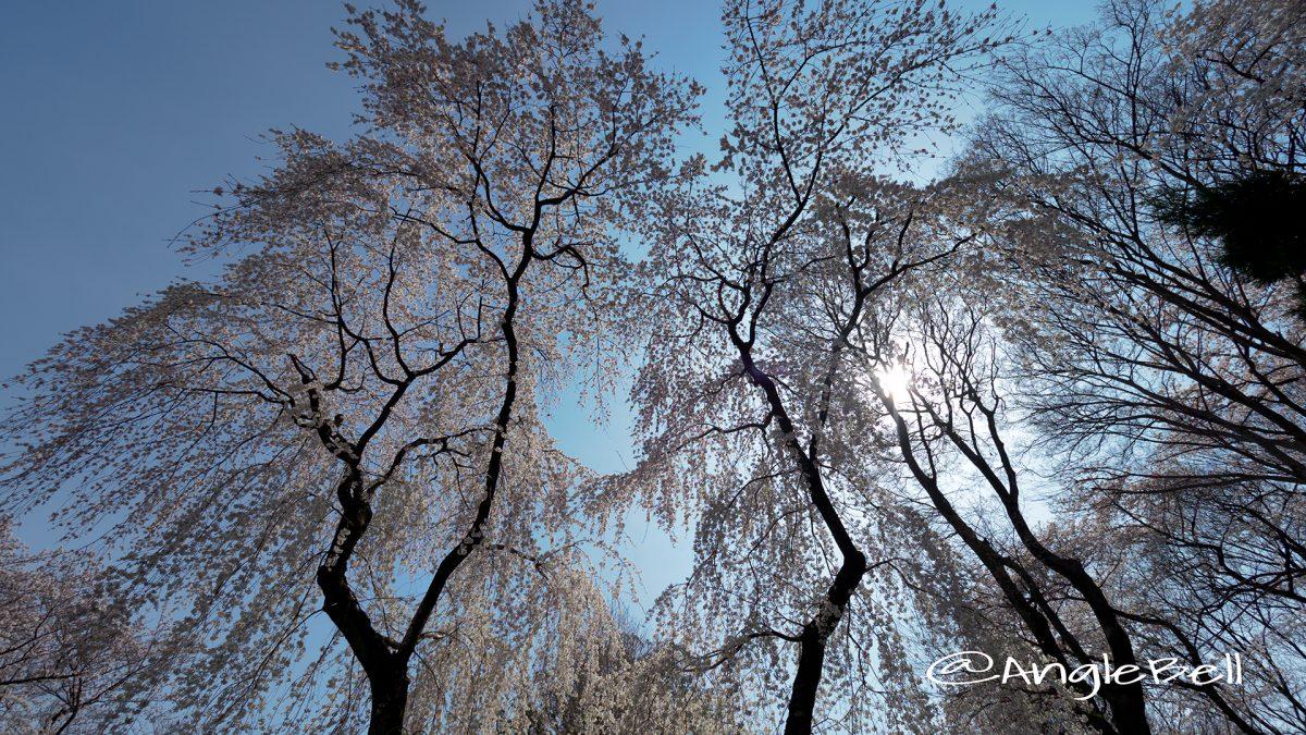 愛知縣護國神社 真昼の枝垂れ桜