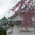 シダレザクラと西南隅櫓・名古屋城