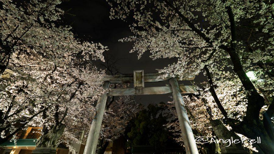 若宮八幡社 鳥居と桜ライトアップ