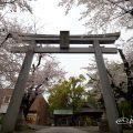 若宮八幡社 鳥居と桜
