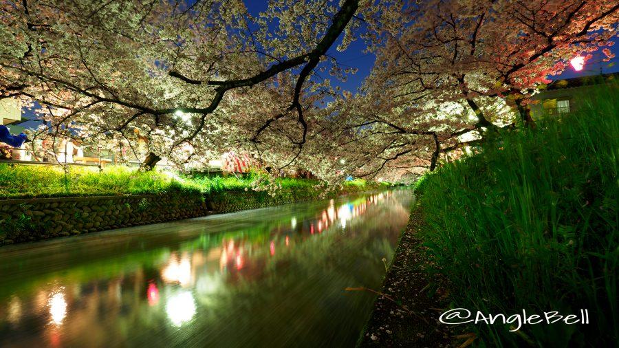 岩倉桜まつり 夜桜