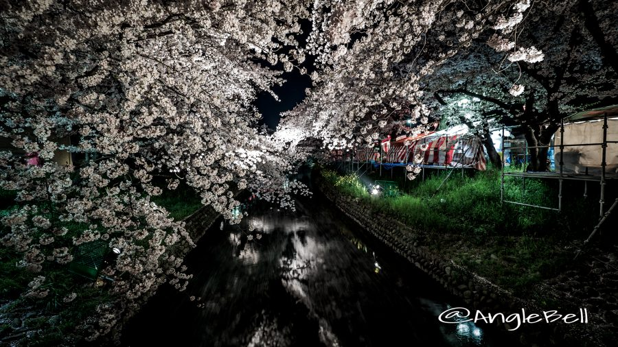 Cherry Blossoms in Gojo River