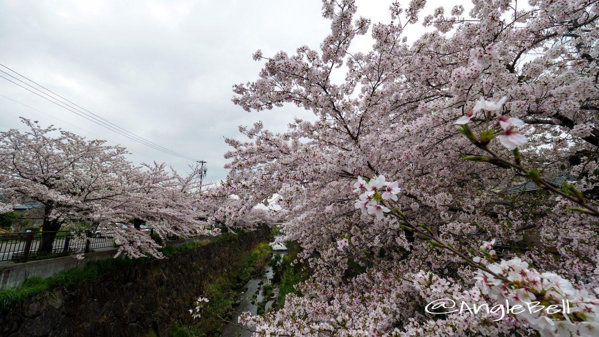 山崎川散策路 ソメイヨシノの並木