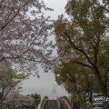 桜風景とセントラルブリッジ