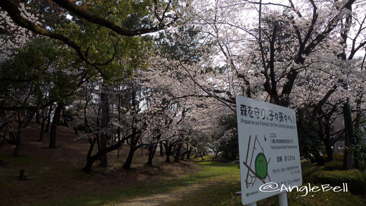 名古屋市昭和区 八幡山古墳の桜