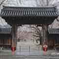 名古屋別院 東門と桜 March 2020