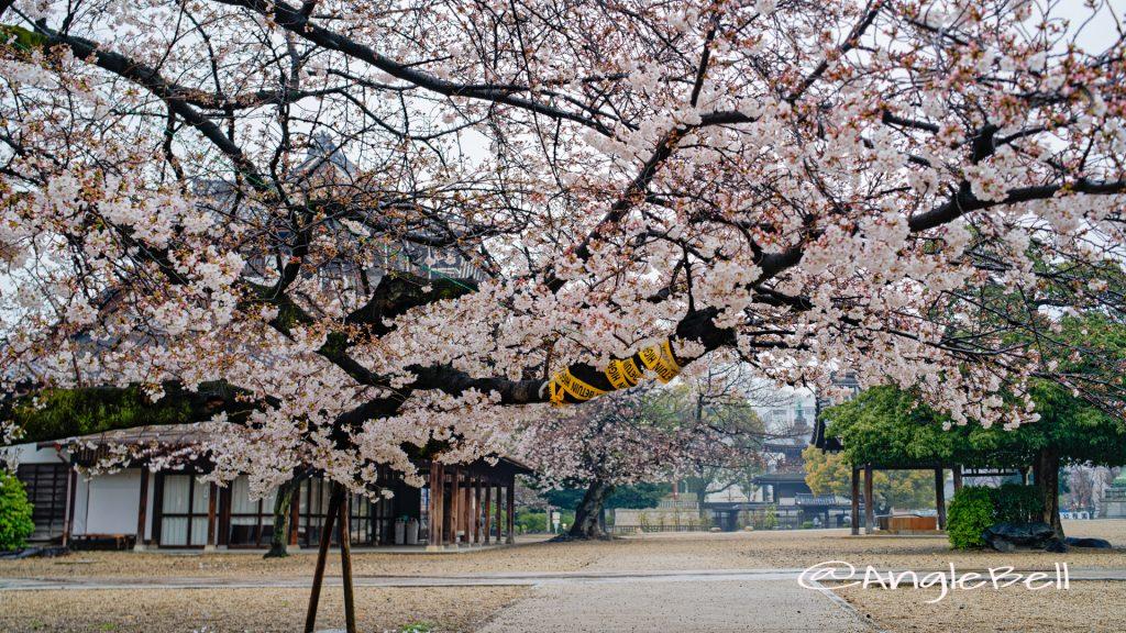 雨天 名古屋別院 東門側の桜 March 2020