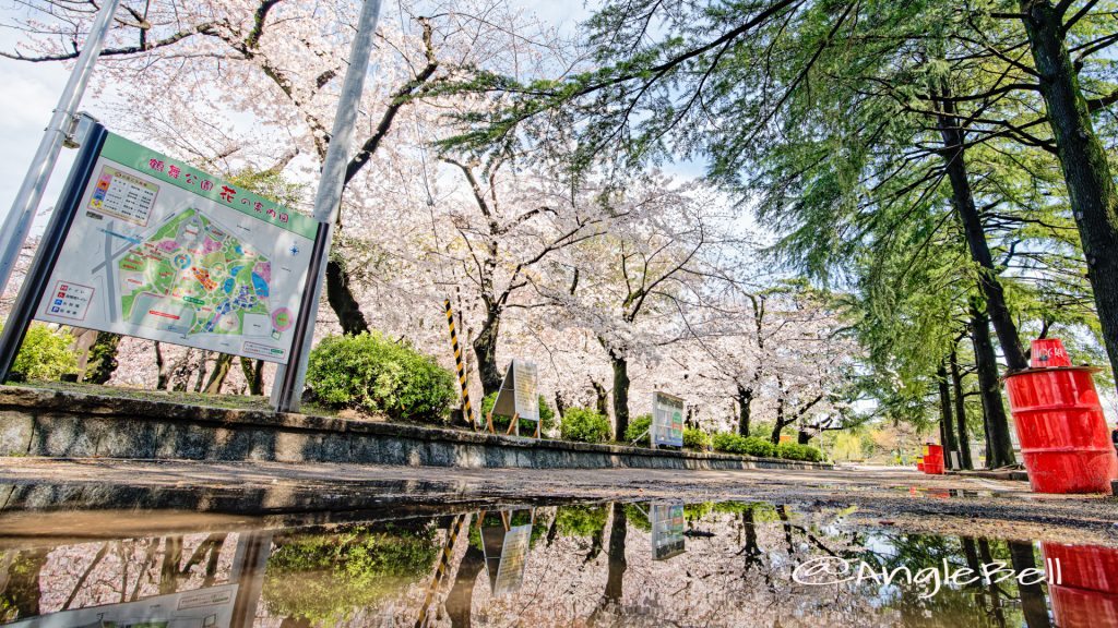 鶴舞公園 正面広場の桜林とヒマラヤ杉 March 2020