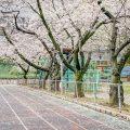 第2号栄公園 園路の桜と陸上レーン March 2020