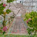 第2号栄公園から見る園路の桜と陸上レーン March 2020