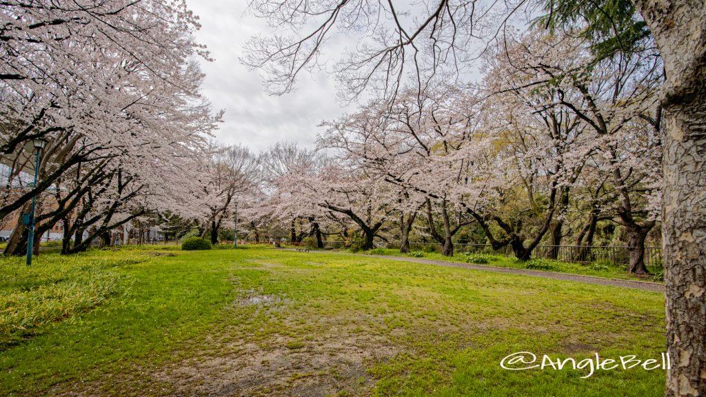 名城公園 大津橋小園の桜 March 2020