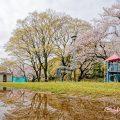 名城公園 ライオンヘルスパークの桜 March 2020