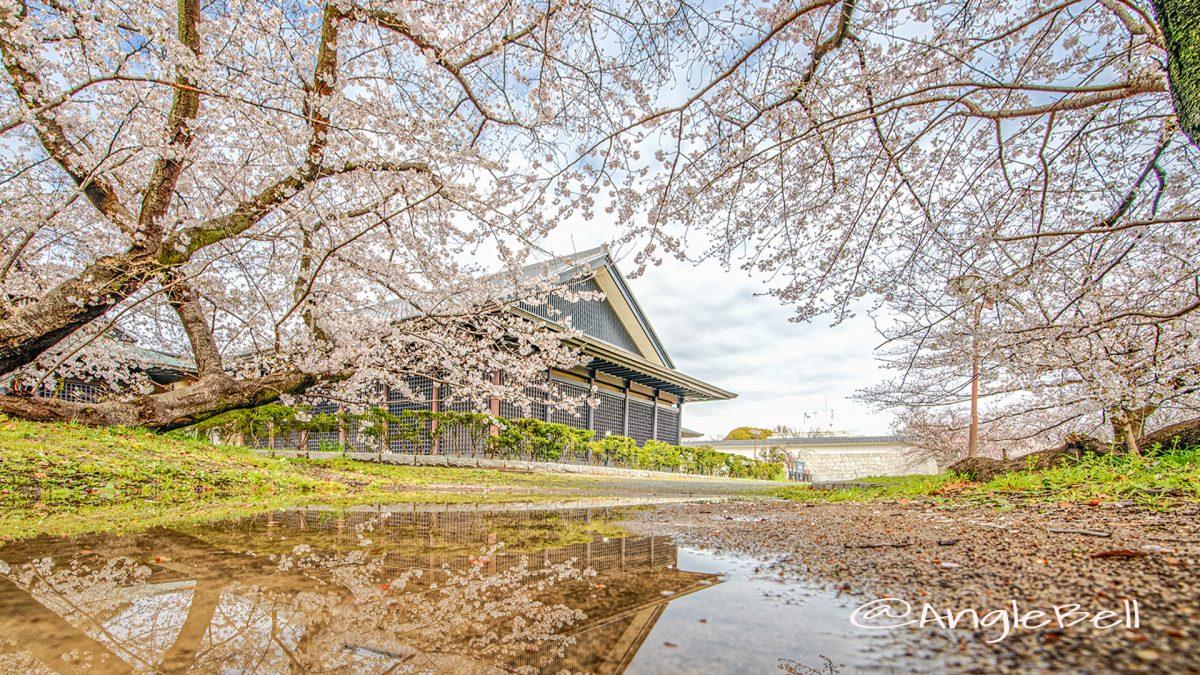 名城公園 彫刻の庭の桜 March 2020